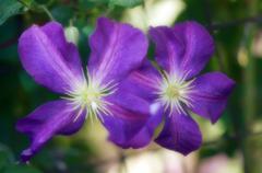 Clematis flowers (clematis sp.) Stock Photos