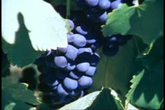 Stellenbosch, South Africa, Red grapes, close up Stock Footage