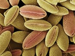 Climbing lily pollen, sem Stock Photos