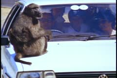 Cape Town, South Africa, Baboon on car hood, medium shot, family in car Stock Footage