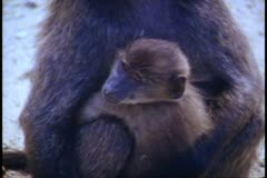 Cape Town, South Africa, Baboon with baby, close up, zoom back medium Stock Footage