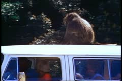 Cape Town, South Africa, Baboon on van roof, close up, zoom out medium passing Stock Footage