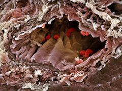 Artery sem Stock Photos