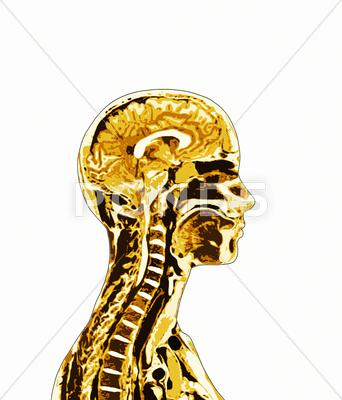 Stock Illustration of brain and spinal cord