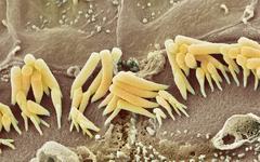 Inner ear hair cells, sem Stock Photos