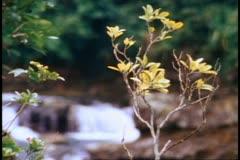 Mauritius, river rapids, follow focus green foliage to rapids, medium close up Stock Footage