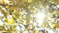 Sunlight Flickering Through Autumnal Maple Leaves Stock Footage