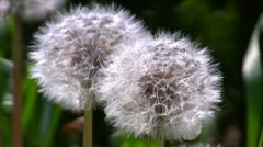 Dandelion seed heads, blowing in the wind - stock footage