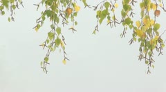 SwayingAutumnal Birch Branches - stock footage