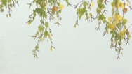 Stock Video Footage of SwayingAutumnal Birch Branches