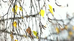 Autumnal Birch Branches - stock footage