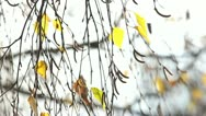 Stock Video Footage of Autumnal Birch Branches