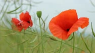 Stock Video Footage of Red poppies