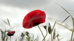 Wild poppy against moody sky - stock footage