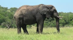 African elephant eating Stock Footage