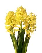 Hyacinth (hyacinthus sp.) Stock Photos