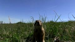 Ground squirrel looks at camera Stock Footage