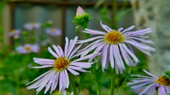 Flowers Aster Amellus 2 Stock Footage