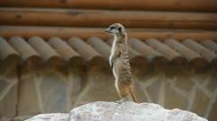meerkat standing in alert position - stock footage