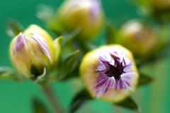 Dahlia buds Stock Photos