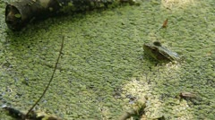 Northern Green Frog 1 Stock Footage