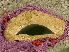 foetal sense organ, sem - stock photo