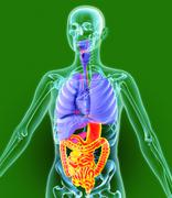 digestive tract, artwork - stock illustration