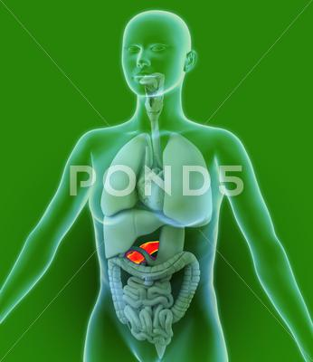 Stock Illustration of pancreas, artwork