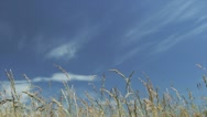 Long Grass on Blue Sky Loop Stock Footage