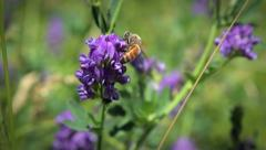 Honey Bee Macro on Purple Alfalfa Flower 2 Stock Footage