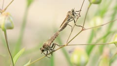 Robber flies mating Stock Footage
