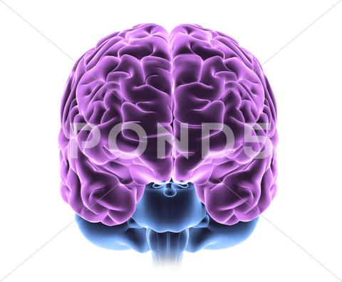 Stock Illustration of human brain, computer artwork