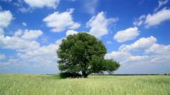 Tree  in the middle of a wheaten field. Landscape HD 720 Stock Footage