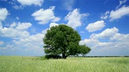 Stock Video Footage of Tree  in the middle of a wheaten field. Landscape HD 720