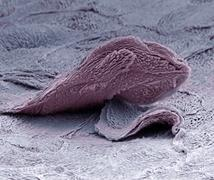skin cell, sem - stock photo