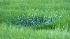 Dancing Green Corn Stalks Stock Footage