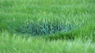 Dancing Green Corn Stalks Stock Footage