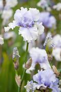Iris kaszub flowers Stock Photos