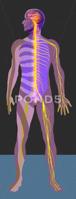 Stock Illustration of nervous system, artwork