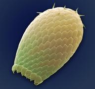 Euglypha amoeba shell, sem Stock Photos