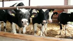 Holstein-Friesian Dairy Cattle Stock Footage