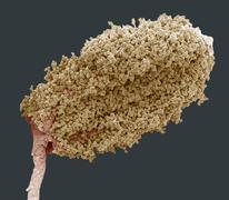 wood anemone anther, sem - stock photo