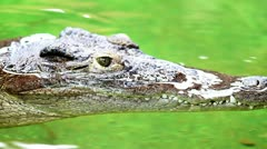 Dangerous crocodile lounging by a river of green water, rough skin detail - stock footage