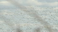 Snow Geese in Flight 1 Stock Footage