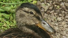 Duck chick - wilde eend - mallard - anas platyrhynchos 01i Stock Footage