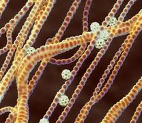 Cyanobacteria, sem Stock Photos