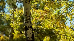 Aspen Fall Trees Stock Footage
