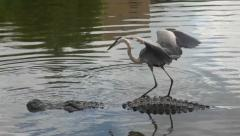 Alligator and Crane Stock Footage