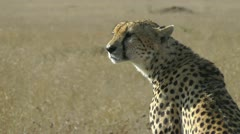 Wild cheetah portrait - stock footage