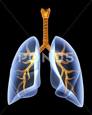 Stock Illustration of lungs and bronchial tree, artwork